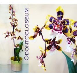Odontoglossum I