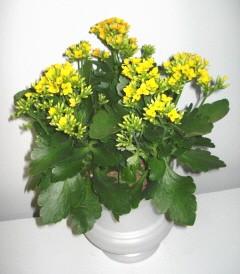 kalanchoe panier plante plantes. Black Bedroom Furniture Sets. Home Design Ideas