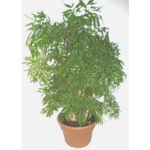 Plante verte plantes for Plante verte japonaise