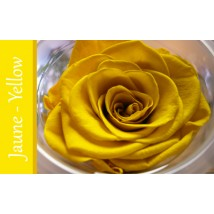 Rose Immortelle Jaune