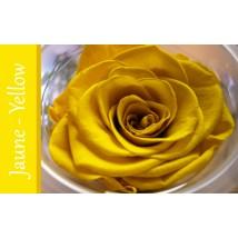 Rose Immortelle Jaune