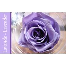 Rose Immortelle Mauve Pâle