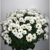 Marguerite 6p