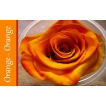 Rose Immortelle Orange