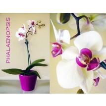 Phalaenopsis Orchidée IIII