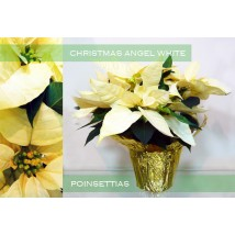 Poinsettias Ange blanc