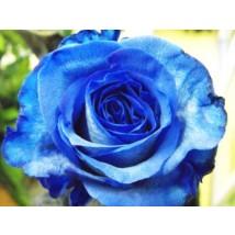 Rose Bleu