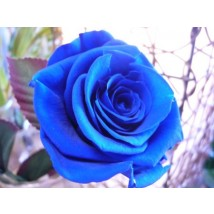 Rose Immortelle Bleu