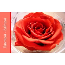 Rose Immortelle Saumon
