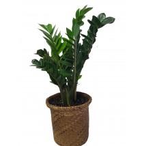 Zamioculcas Zamifolia  Plante ZZ