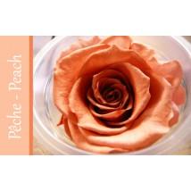 Rose Immortelle Pêche