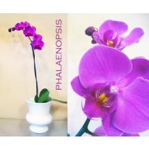 Phalaenopsis Orchidée III