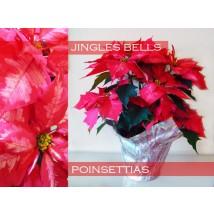 Poinsettias Cloche de Noël