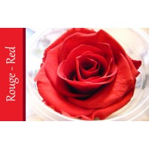 Rose Immortelle Rouge