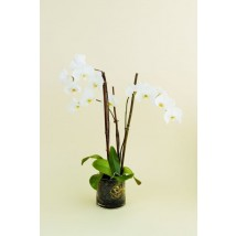 Phalaenopsis Orchidée II